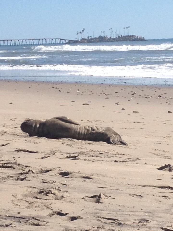 tiny travel chick things to do in california la conchita beach baby seal