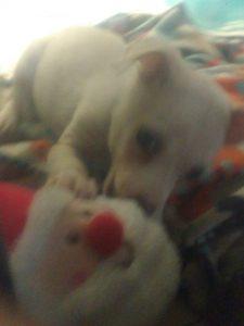 tiny travel chick tiny dog adopt