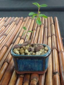 tiny travel chick tiny bonsai