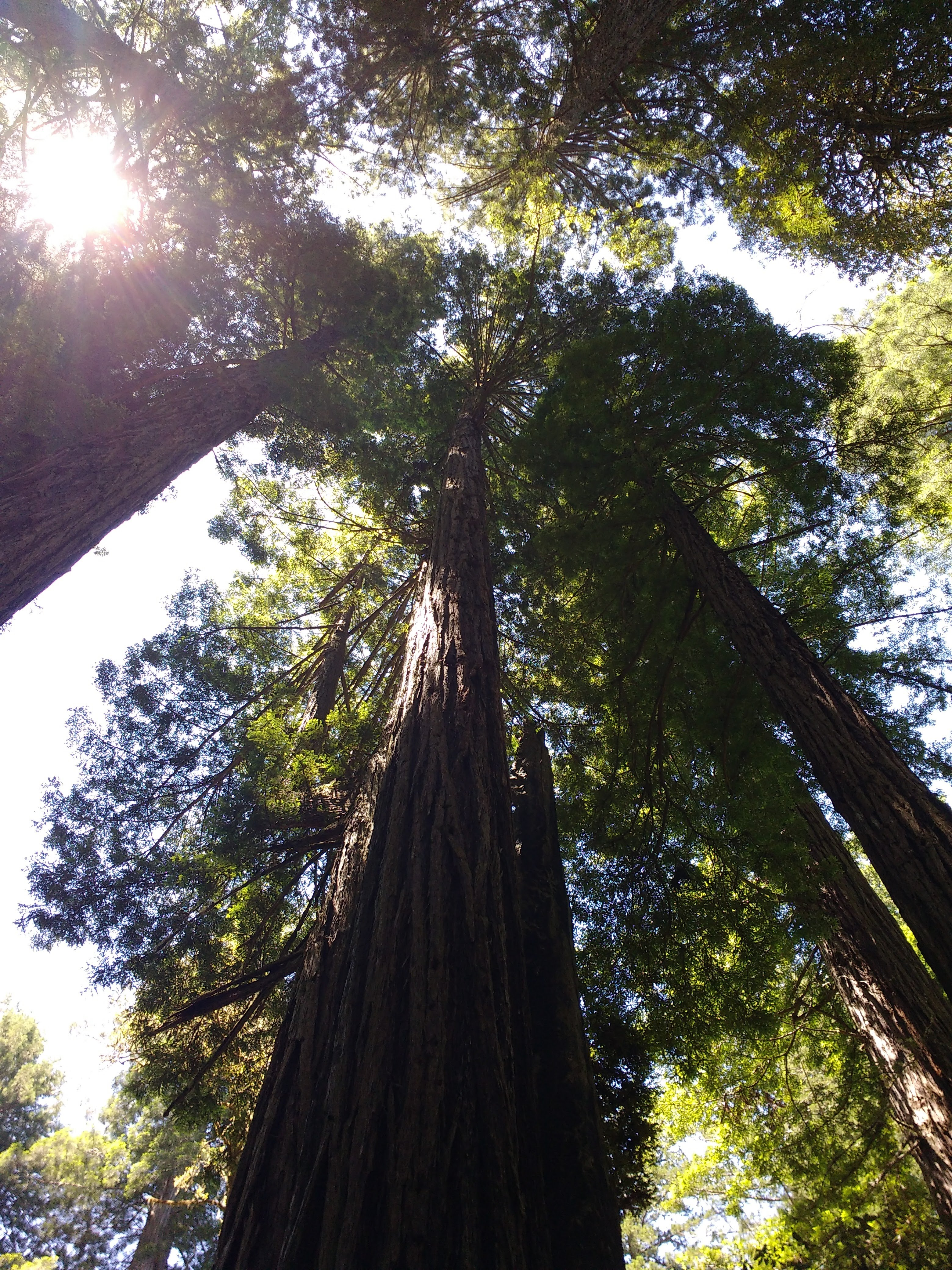 tiny travel chick incredible travel redwood national forest tallest trees