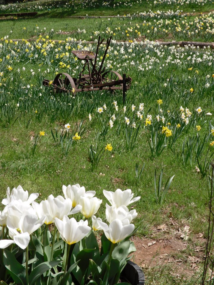 tiny travel chick things to do in california daffodil hill