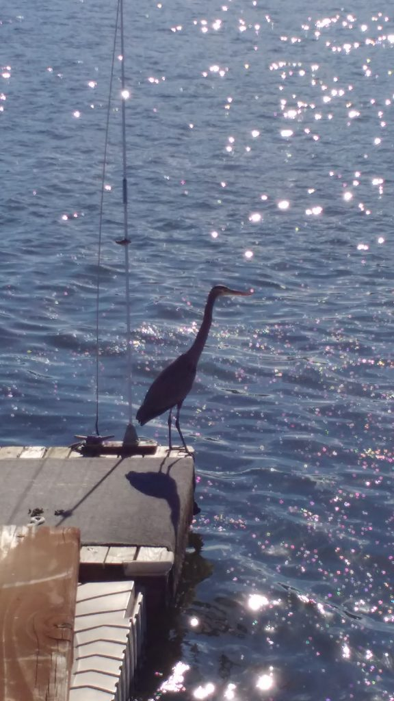 tiny travel chick things to do in california clearlake blue heron bird